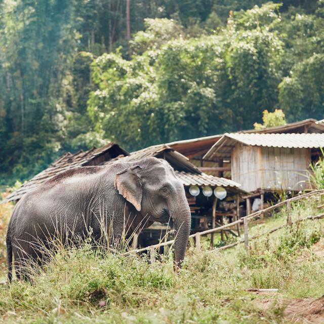 """Elephant in village"" stock image"