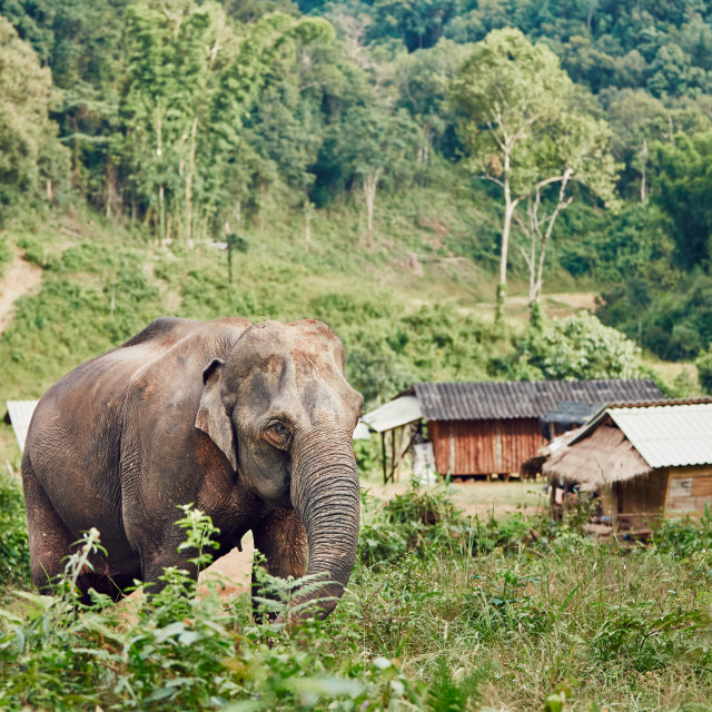 """Elephant in village"" stock image"