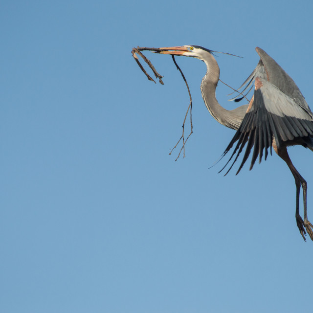 """Great Blue Heron with Building Material"" stock image"