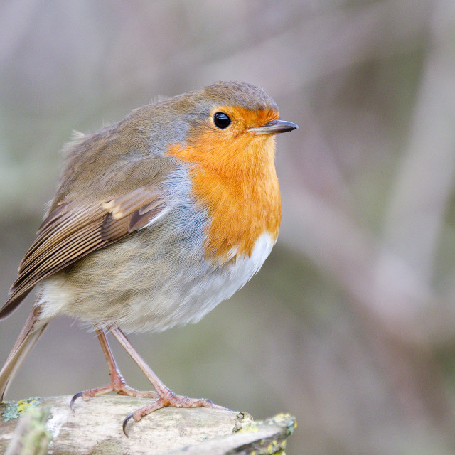 """""""Robin on a Post"""" stock image"""