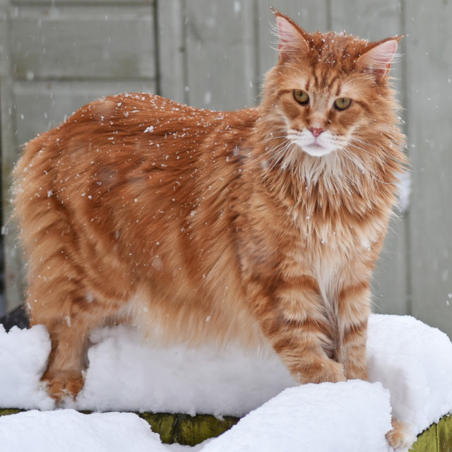 """Ginger Maine Coon"" stock image"