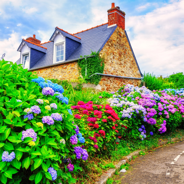 """""""Colorful Hydrangeas flowers in a small village, Brittany, France"""" stock image"""