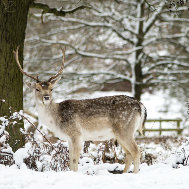 """Fallow Stag in the Snow"" stock image"