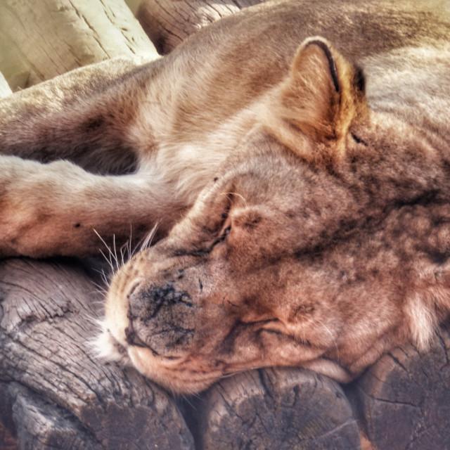 """Lion sleeping"" stock image"