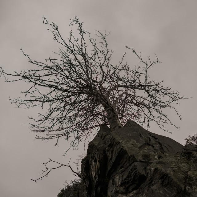 """""""Tough Mountain Tree"""" stock image"""