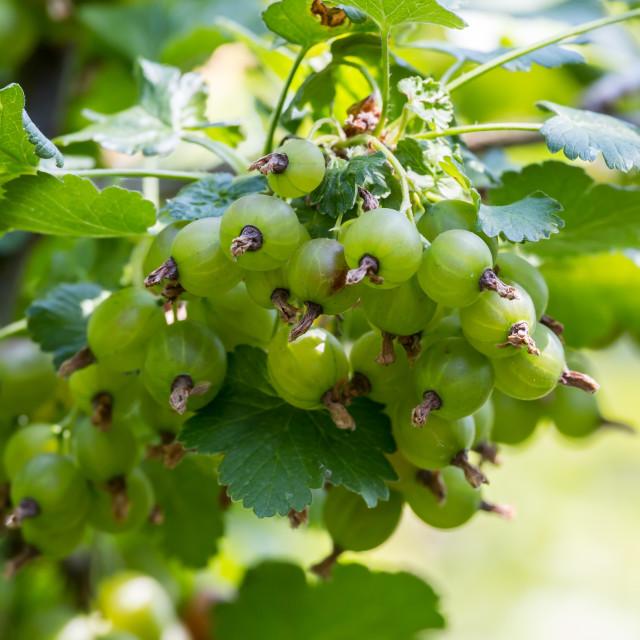 """Mature gooseberry fruit on the bush"" stock image"