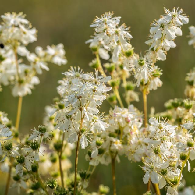 """Meadowsweet, Filipendula ulmaria, flowering plants"" stock image"