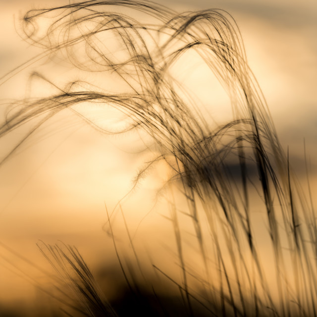 """""""Close up of the stipa plant in the wonderful sunset light"""" stock image"""