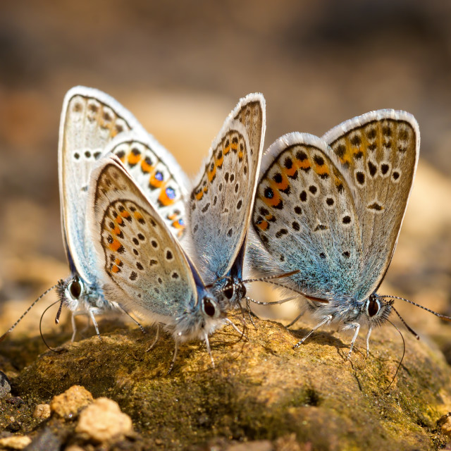 """""""Many pretty gossamer-winged butterflies resting together"""" stock image"""
