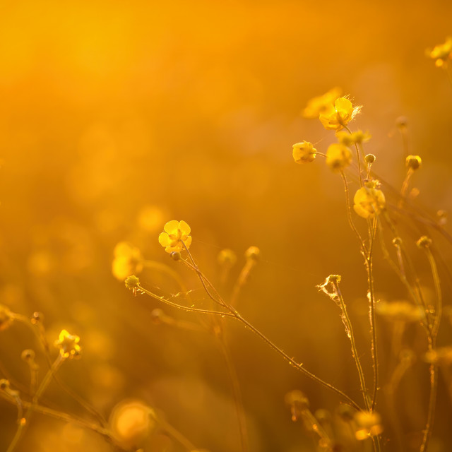 """""""Beautiful flowers in the sunset backlight"""" stock image"""