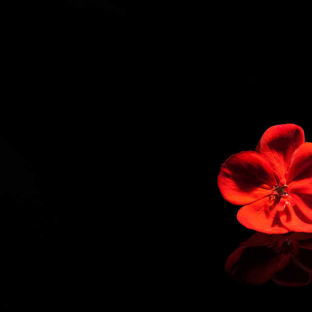 """""""Red flower on the black piano"""" stock image"""