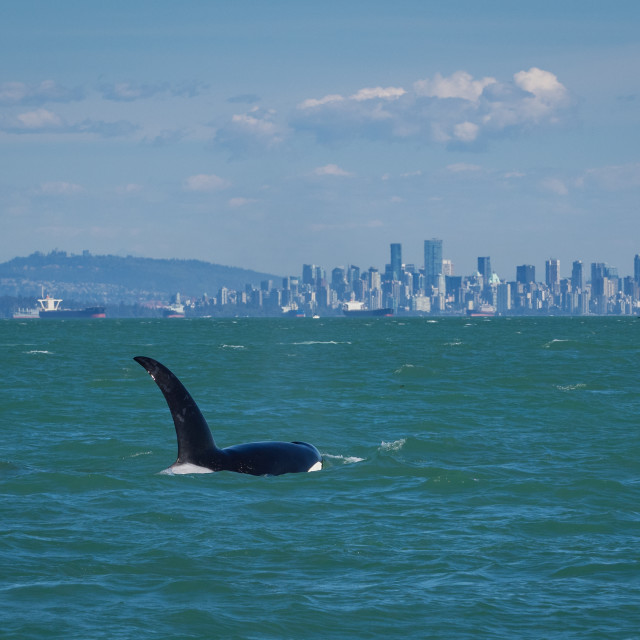 """Killer whale off downtown Vancouver, Canada"" stock image"
