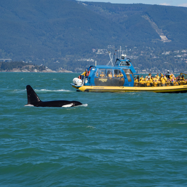 """Killer whale and whale watching boat off Vancouver, Canada"" stock image"