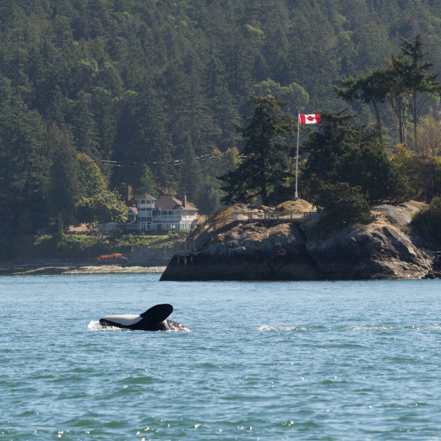 """Killer whale in front of Canadian flag off Vancouver Island, Can"" stock image"