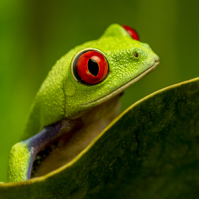 """Red Eyed Tree Frog"" stock image"