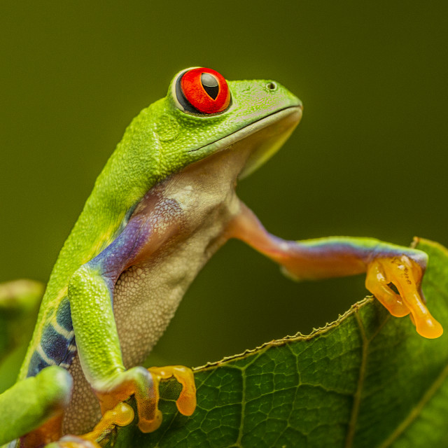"""Red Eye Tree Frog II"" stock image"
