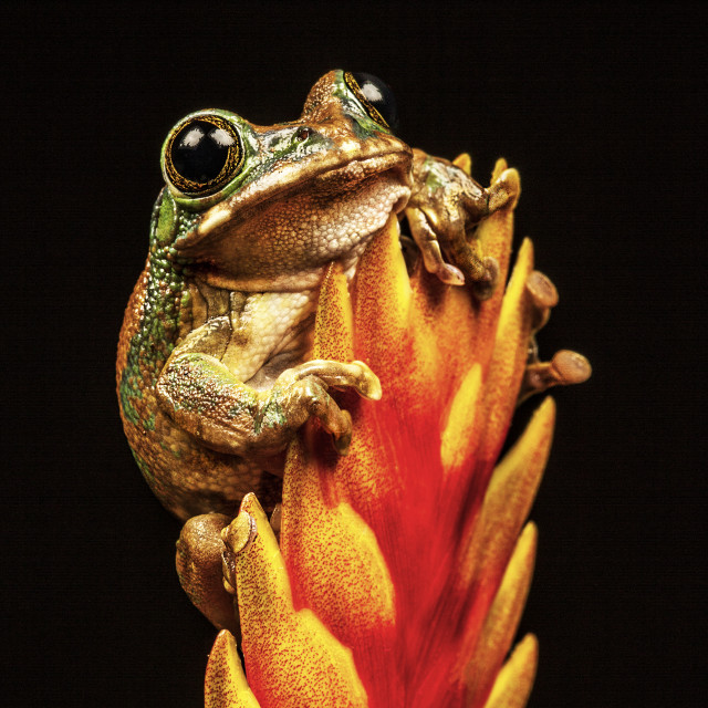 """Peacock Tree Frog"" stock image"
