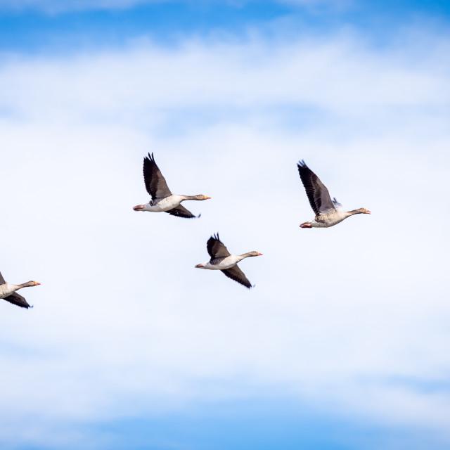 """Flying goose"" stock image"