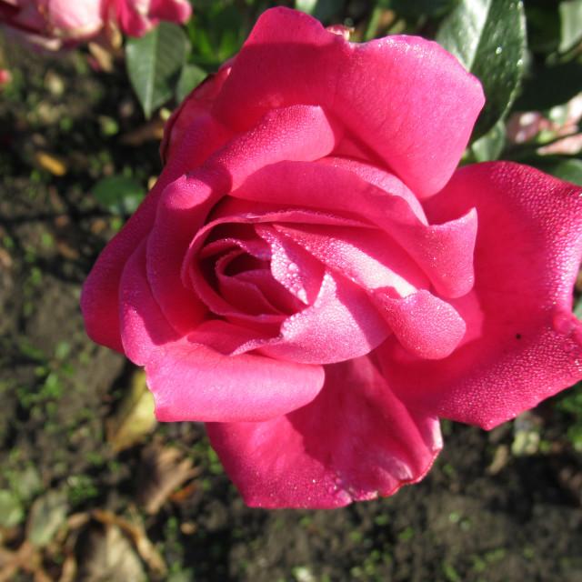"""Фото роза,photo rose"" stock image"