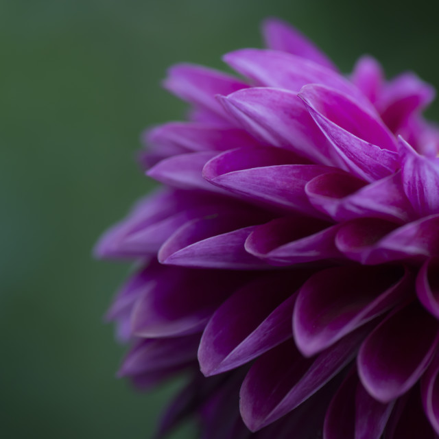 """Morning Dahlia"" stock image"