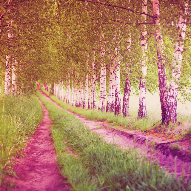 """Ultra violet alley of green birches"" stock image"