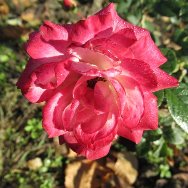 Картинки роза султановна