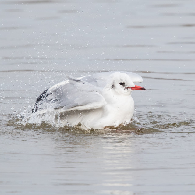 """Black-Headed Gull Bathing"" stock image"
