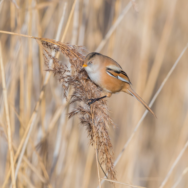 """Female Bearded Tit"" stock image"