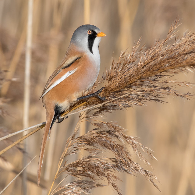 """Male Bearded Tit"" stock image"