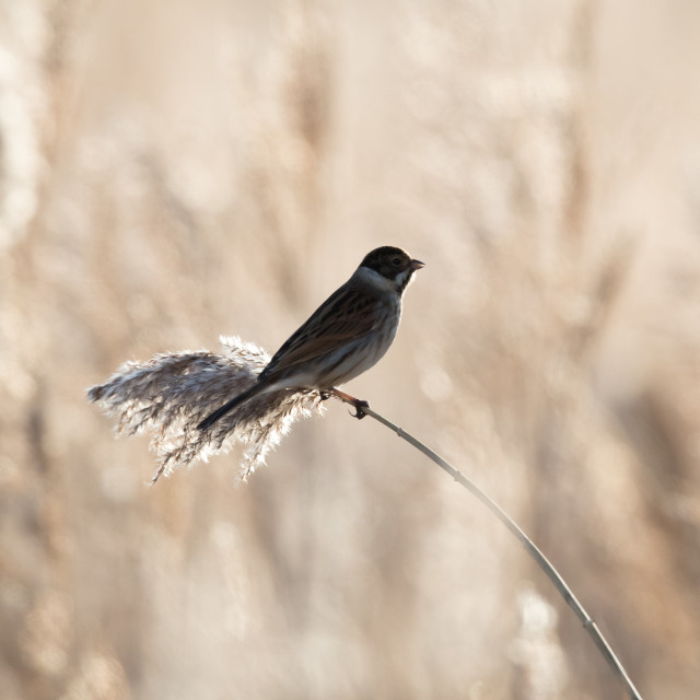 """Silhouette of Male Reed Bunting"" stock image"