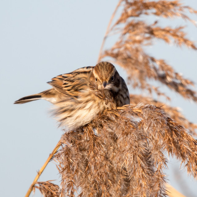 """Female Reed Bunting Feeding"" stock image"