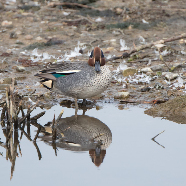 """Male Teal"" stock image"