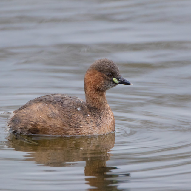 """Little Grebe"" stock image"