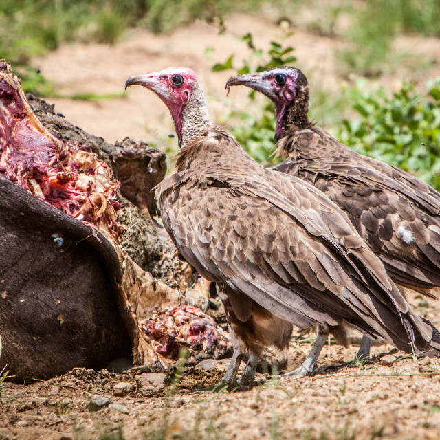 """Vultures at Buffalo Carcass"" stock image"