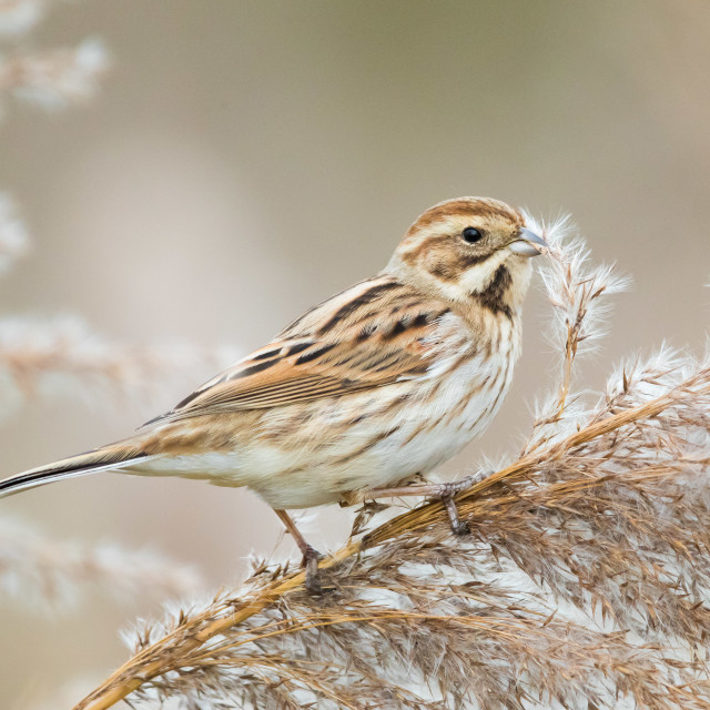 """""""Reed Bunting"""" stock image"""