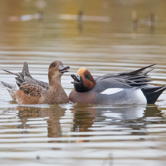 """Pair of Wigeons"" stock image"
