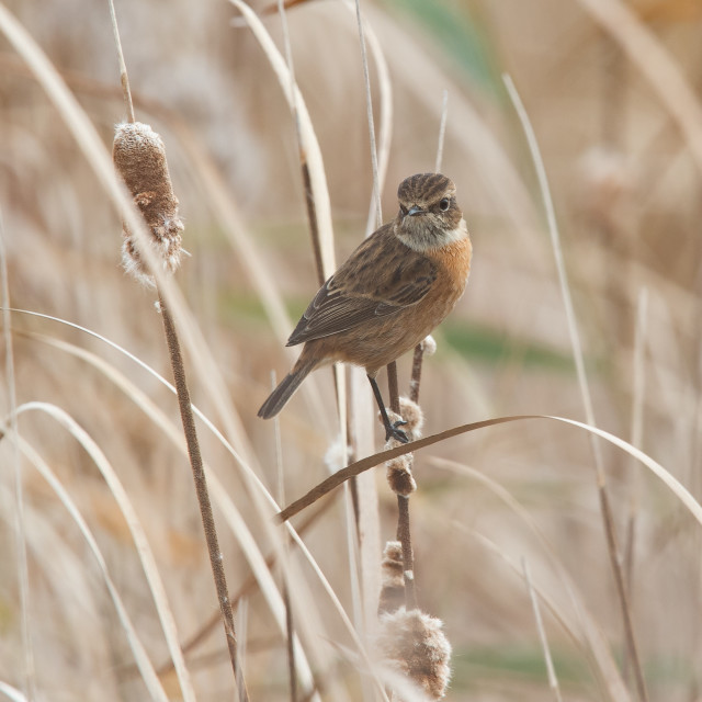 """Stonechat in Reed-bed"" stock image"