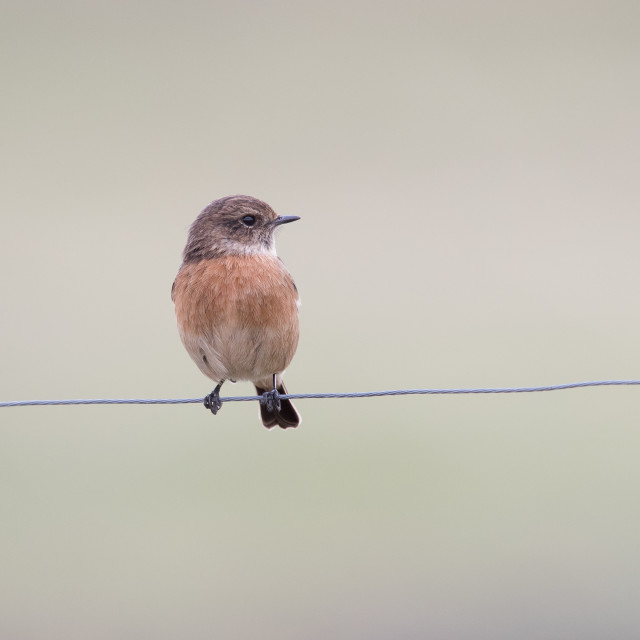 """Stonechat on a Wire"" stock image"