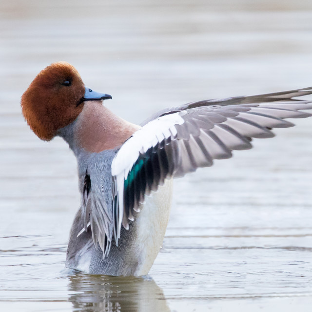 """Male Wigeon Flapping"" stock image"