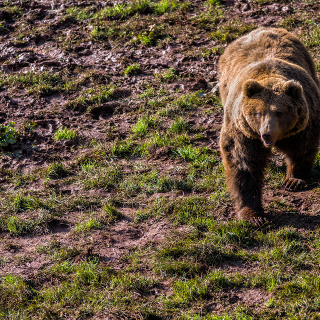 """Brown bear (Ursus arctos)"" stock image"