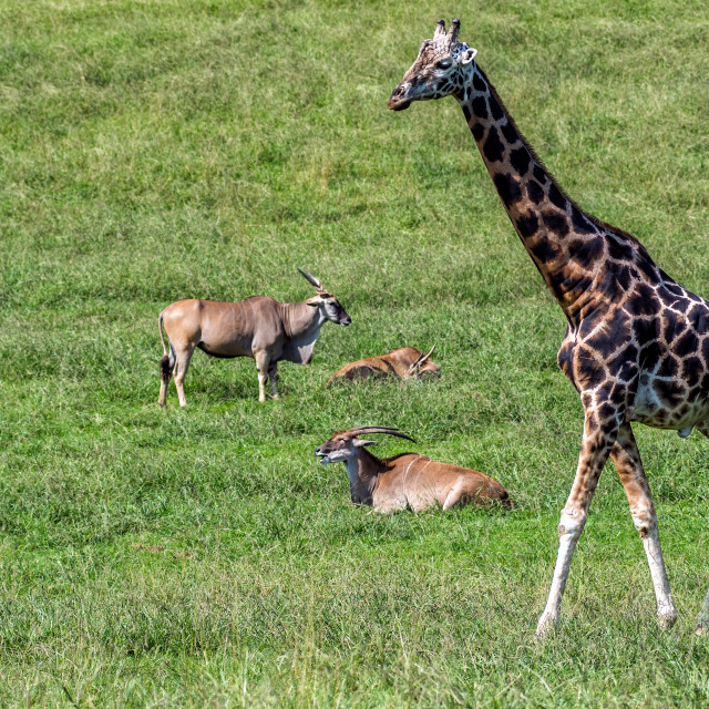 """Giraffe and Elands"" stock image"