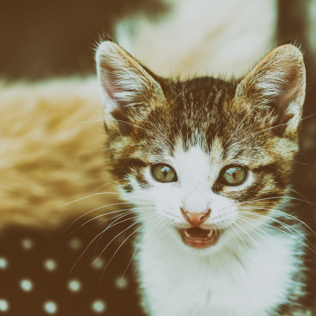 """""""Baby Cat Meowing"""" stock image"""