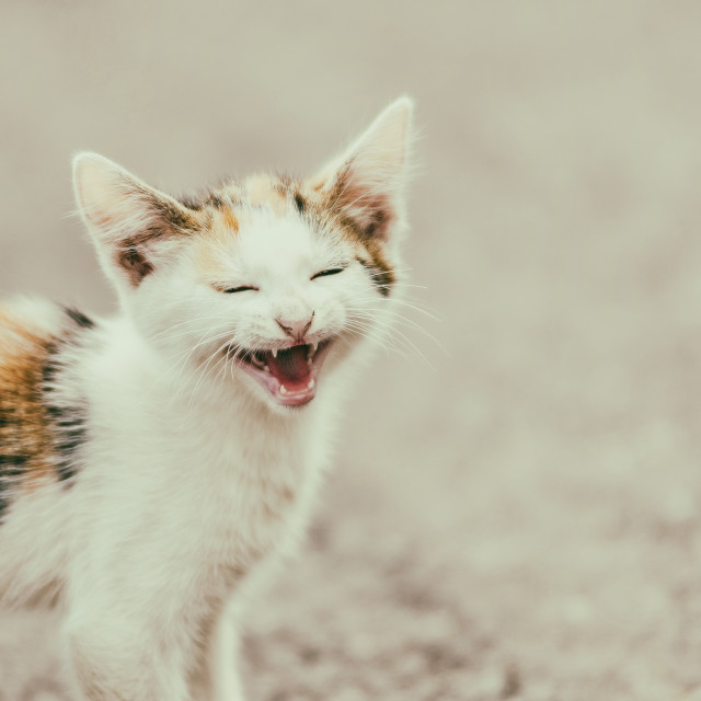 """Cute Cat Meowing With A Funny Laughing Face"" stock image"