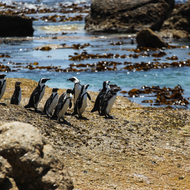 """A Waddle of Penguins"" stock image"