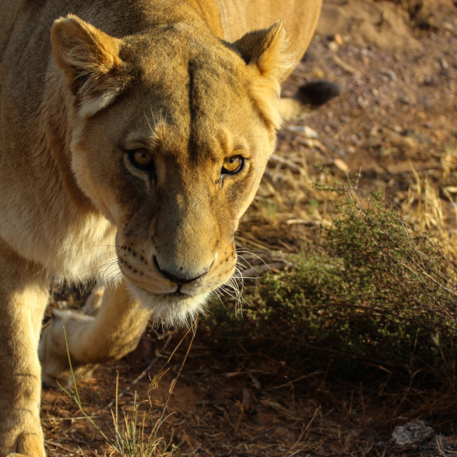 """Glancing Lioness"" stock image"