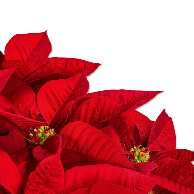 """Red poinsettia flower (Euphorbia pulcherrima) on white"" stock image"
