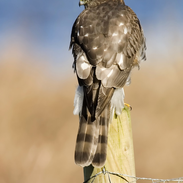 """""""Sparrowhawk on Post"""" stock image"""