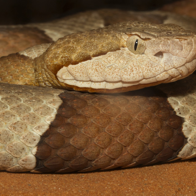 """Broad-banded Copperhead Snake Extreme Closeup"" stock image"