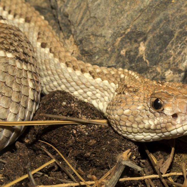 """Aruba Island Rattlesnake Closeup"" stock image"