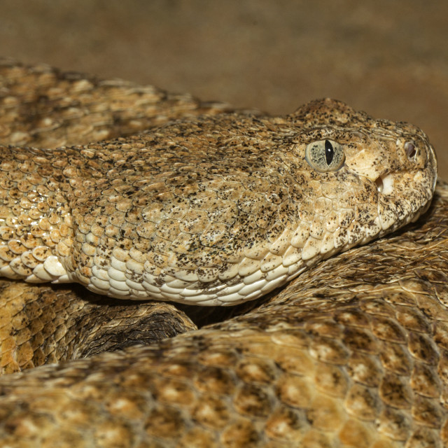 """El Muerto Island Speckled Rattlesnake"" stock image"